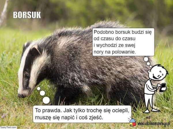 Zwierzęta zapadające wsen zimowy-borsuk