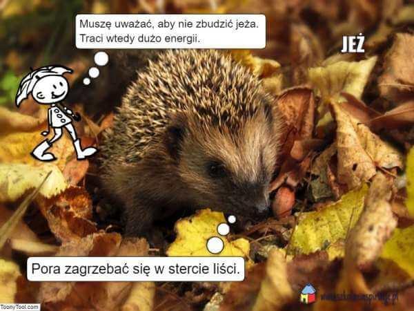 Zwierzęta zapadające wsen zimowy - jeż